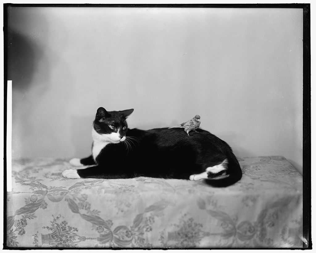Timmie the cat, with his canary friend, Caruso. Harris & Ewing, ca. 1929. Library of Congress LC-H25- 155282-BK [P&P]
