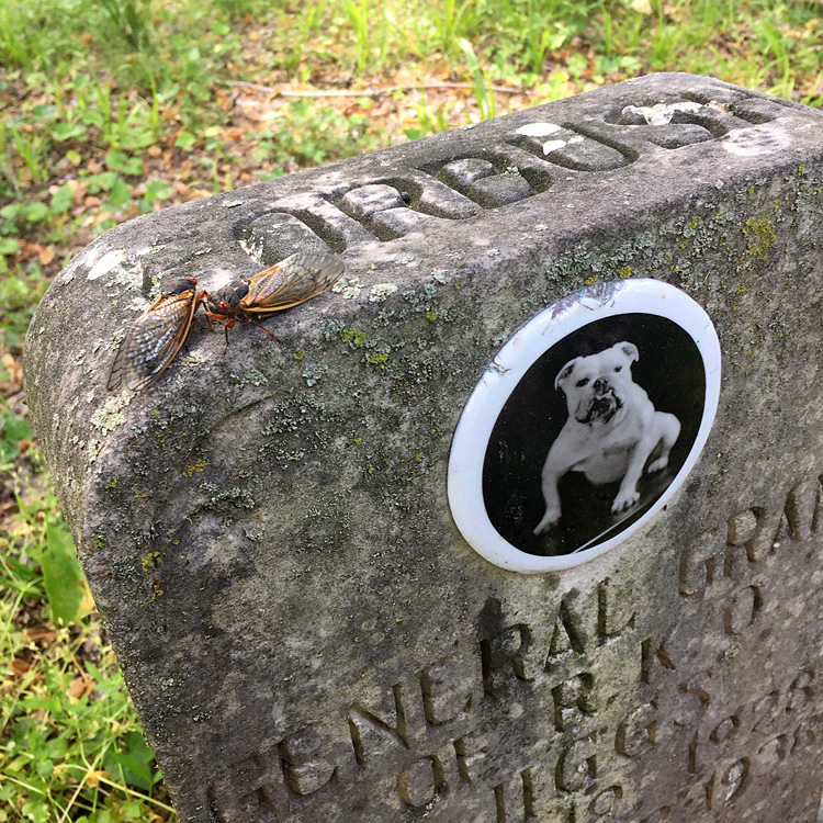 Cicadas on General Grant of RKO's grave stone. Aspin Hill Memorial Park, May 22, 2021